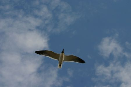 Laughing gull (Larus atricilla) in flight, Cape May, New Jersey photo