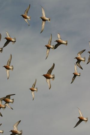 Red knots (Calidris canutus) in flight, Cape May, New Jersey photo