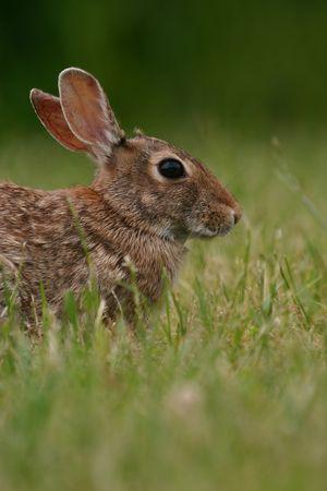 Eastern cottontail rabbit (Sylvilagus floridanus), Cape May, New Jersey photo