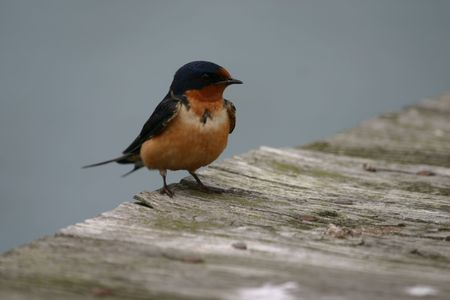Barn swallow (Hirundo rustica), Cape May, New Jersey Stock Photo - 571721