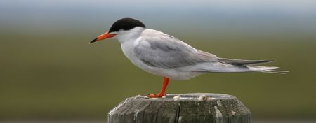 Common tern (Sterna hirundo), Cape May, New Jersey photo