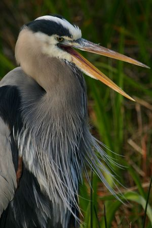 Great blue heron (Ardea herodias), Everglades National Park, Florida Stock Photo