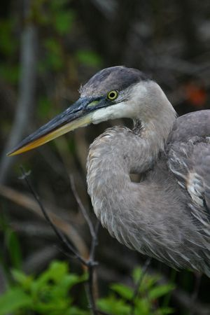 Great blue heron (Ardea herodias), Everglades National Park, Florida photo