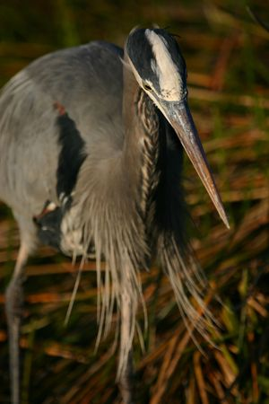 herodias: Great blue heron (Ardea herodias), Everglades National Park, Florida Stock Photo