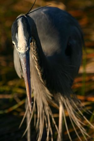 Great blue heron (Ardea herodias), Everglades National Park, Florida photo