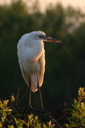 Great egret (Ardea alba), Everglades National Park, Florida photo