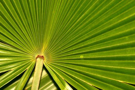 radiating: Irradiante foglia, Everglades National Park, Florida