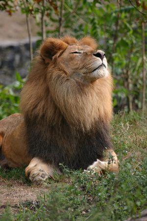 panthera leo: Le�n (Panthera leo) (cautiva)