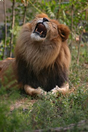 Lion (Panthera leo) (captive) Stock Photo