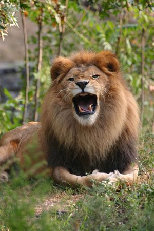 Snarling lion (Panthera leo) (captive)