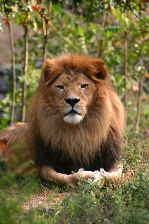 panthera: Lion (Panthera leo) (in cattivit�)