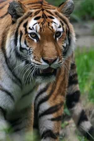 felid: Tiger portrait (Panthera tigris) (captive) Stock Photo