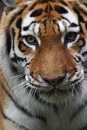 panthera tigris: Tiger portrait (Panthera tigris) (captive) Stock Photo