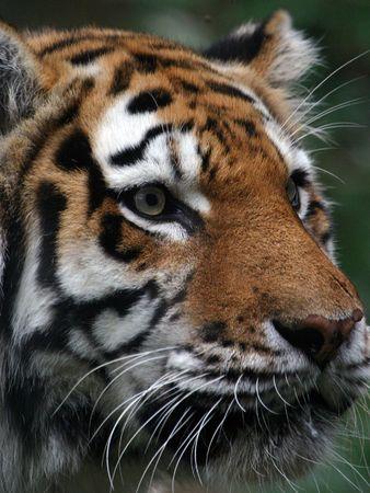 panthera tigris: Tiger retrato (Panthera Tigris) (en cautividad)