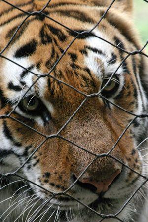 panthera tigris: Retrato del tigre (tigris) de Panthera (cautivo)