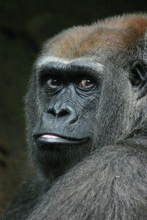 western lowland gorilla: Gorilla pianura occidentale (Gorilla gorilla) (in cattivit�) Archivio Fotografico