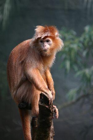 bois �b�ne: Ebony langur (Trachypithecus auratus) (en captivit�)