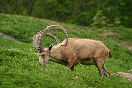 ibex ram: Nubian ibex (Capra ibex nubiana) (captive) Stock Photo