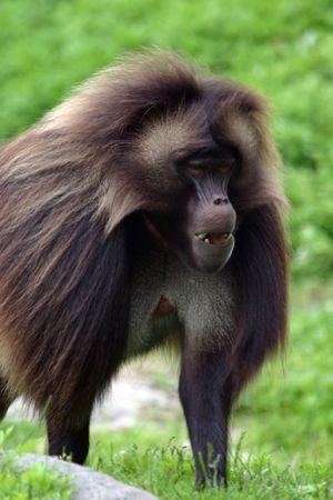 Gelada baboon (Theropithecus gelada) (captive)