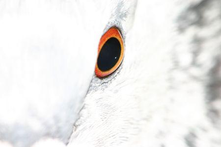 overexposed: Pigeon (Columba livia) closeup