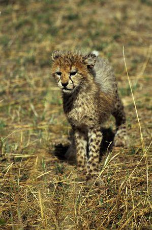 cheetah cub: Cheetah cub (Acinonyx jubatus), Masai Mara National Park, Kenya Stock Photo