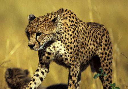 acinonyx: Cheetah (Acinonyx jubatus), Masai Mara National Park, Kenya Stock Photo