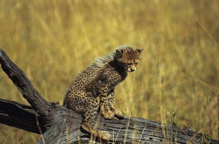 cheetah cub: Cheetah cub on log (Acinonyx jubatus), Masai Mara National Park, Kenya Stock Photo