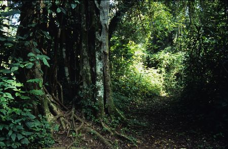 strangler: Strangler fig in rainforest, Kakamega Forest, Kenya Stock Photo