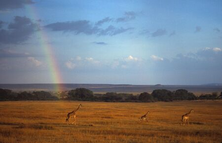 ungulates: Giraffes (Giraffa camelopardalis) under rainbow, Masai Mara National Park, Kenya