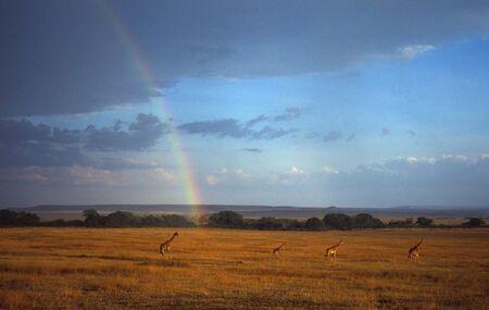 giraffa: Giraffes (Giraffa camelopardalis) under rainbow, Masai Mara National Park, Kenya