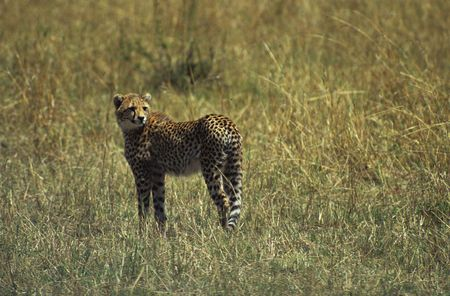 felid: Cheetah (Acinonyx jubatus), Masai Mara National Park, Kenya Stock Photo