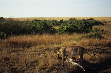felid: Lion (Panthera leo) dragging zebra kill, Masai Mara National Park, Kenya Stock Photo