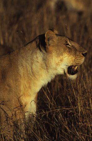 Lion (Panthera leo), Masai Mara National Park, Kenya photo