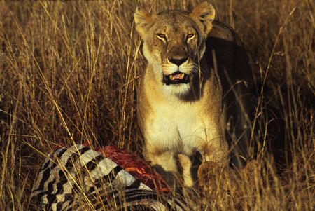 felid: Lion with kill (Panthera leo), Masai Mara National Park, Kenya