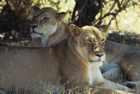 Lions (Panthera leo), Masai Mara National Park, Kenya photo