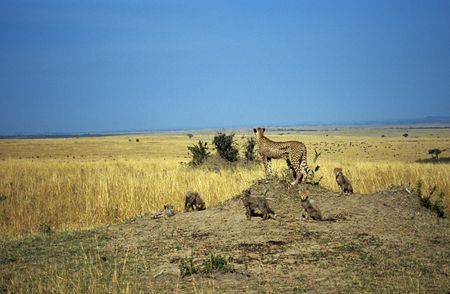 felid: Cheetah with cubs (Acinonyx jubatus) looking out from hill, Masai Mara National Park, Kenya Stock Photo