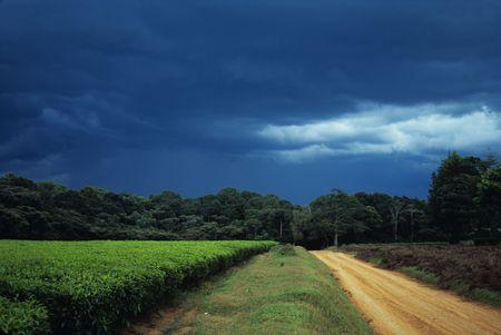 forest tea: Incoming storm over tea plantation and road, Kakamega Forest, Kenya