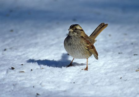 brown throated: White throated sparrow (Zonotrichia leucophrys) in winter, Riverside Park, New York City Stock Photo