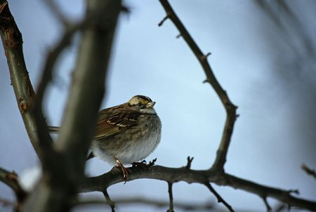 White throated sparrow (Zonotrichia leucophrys) on branch in winter, Riverside Park, New York City