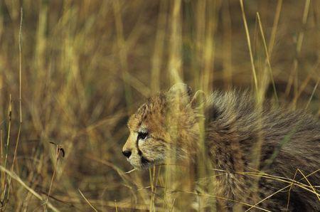 acinonyx: Cheetah cub (Acinonyx jubatus), Masai Mara National Park, Kenya Stock Photo