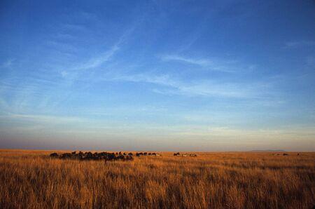 taurinus: Burchells zebra (Equus burchelli) and blue wildebeest (Connochaetes taurinus), Masai Mara National Park, Kenya