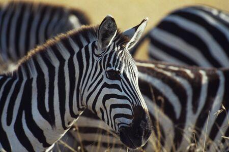 masai: Burchells zebra (Equus burchelli), Masai Mara National Park, Kenya