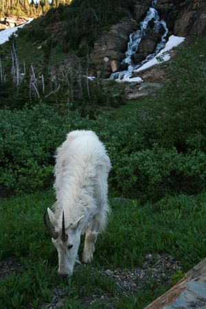 cabra montes: Cabra mont�s (Oreamnos americanus), Parque Nacional Glacier, Montana