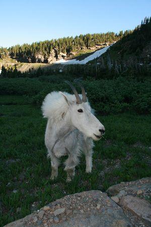 cabra montes: Cabra mont�s (Oreamnos americanus), el Parque Nacional Glaciar, Montana