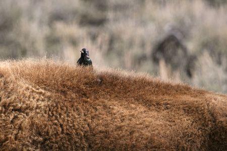 symbiotic: European starling (Sturnus vulgaris) on American bison (Bison bison) back, Yellowstone National Park, Wyoming Stock Photo