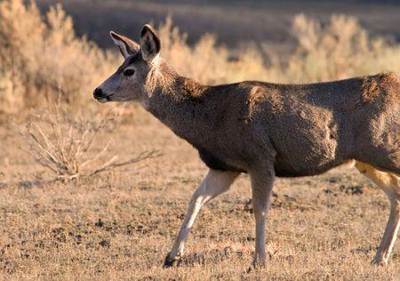 odocoileus: Mule deer (Odocoileus hemionus), Yellowstone National Park, Wyoming
