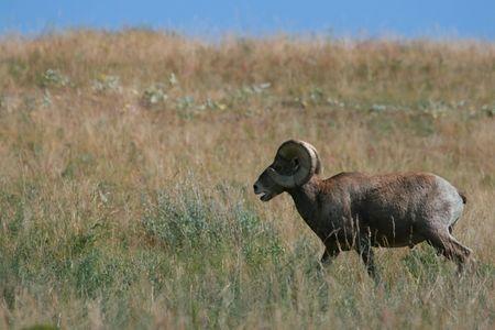 bighorn sheep: Bighorn pecore ram (Ovis canadensis), National Bison Range, Montana