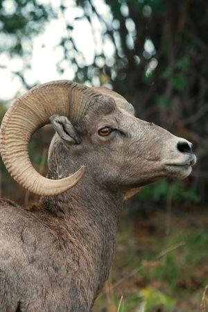 bighorn sheep: Bighorn sheep ram (Ovis canadensis), National Bison Range, Montana