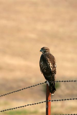 barbed wire and fence: Red-tailed hawk (Buteo jamaicensis) on fence, National Bison Range, Montana Stock Photo