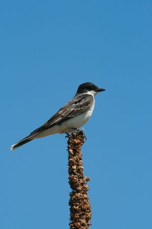 Eastern kingbird (Tyrannus tyrannus), National Bison Range, Montana 版權商用圖片